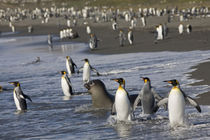 King Penguins (Aptenodytes patagonicus) and young Elephant Seals (Mirounga leonina) along shoreline at massive rookery along Saint Andrews Bay von Danita Delimont