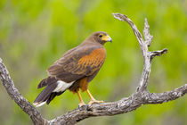 Close-up of Harris hawk on branch by Danita Delimont