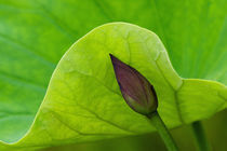 USA; North Carolina; Lotus leaf and bud by Danita Delimont