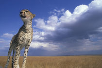 Adult Female Cheetah (Acinonyx jubatas) looks out at surrounding savanna by Danita Delimont