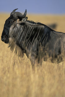 Wildebeest (Connochaetes taurinus) in tall grass on savanna during Serengeti migration by Danita Delimont
