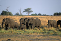 Elephant herd (Loxodonta africana) walk along Chobe River at sunset by Danita Delimont
