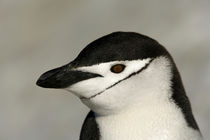 Close-up of adult chinstrap penguin's head by Danita Delimont
