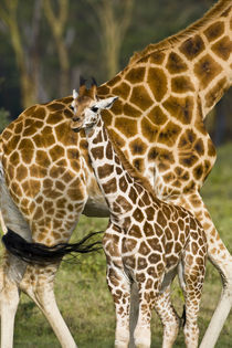 Rothschild's Giraffe baby with mother at Lake Nakuru NP by Danita Delimont