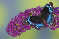 Hypolimnas alimena the Blue-banded Eggfly Butterfly from PNG von Danita Delimont