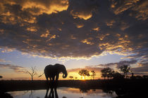 Elephant (Loxodonta africana) silhouetted by setting sun at Marabou Pan in Savuti Marsh von Danita Delimont