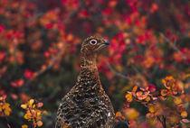 Alaska State bird von Danita Delimont