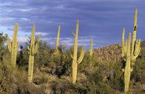 Saguaro cactus by Danita Delimont
