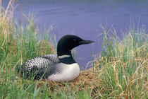 Common loon on nest by Danita Delimont