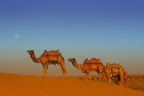 Camels along the sandunes at moon rise in the Thar desert by Danita Delimont
