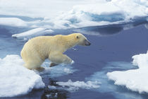 Arctic; Svalbard; Polar Bear beginning leap from one ice floe to another with blue water background von Danita Delimont