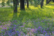 Evening light Coming through Oak Trees onto field of Blue Bonnets and Phlox near Devine Texas von Danita Delimont