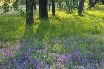 Evening light Coming through Oak Trees onto field of Blue Bonnets and Phlox near Devine Texas von Danita Delimont