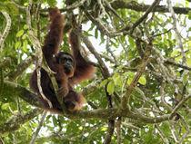 Orangutan (Pongo pygmaeus) by Danita Delimont