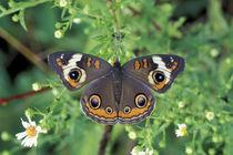 Buckeye butterfly (Junonia coenia) von Danita Delimont