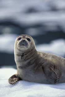 Southeast region Harbor seal on ice flow - Le Conte Glacier by Danita Delimont