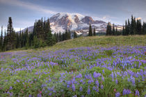 Rainier and wildflowers at Mazama Ridge von Danita Delimont