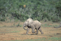 Baby elephants by water hole by Danita Delimont