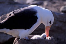 Black-browed Albatross with chick by Danita Delimont