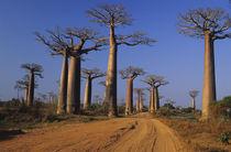"""Avenue du Baobab"" Adasonia Grandidieri by Danita Delimont"