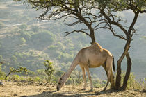 Camel in the Dhofar Mountains / Morning by Danita Delimont