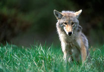 Coyote (Canis latrans) in alpine meadow in Mount Robson National Park in Canadian Rockies von Danita Delimont