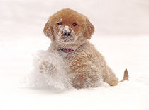 Golden Retriever Pup in Snow von Danita Delimont