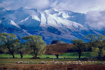 Sheep grazing below the snow-capped Harris Mountains in the Southern Alps near the town of Wanaka on the South Island of New Zealand in August by Danita Delimont