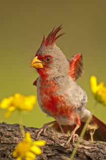 Close-up of male pyrrhuloxia bird by Danita Delimont