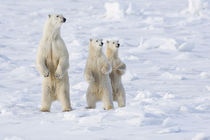Polar Bear and cubs on alert by Danita Delimont