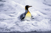 South Georgia Island King penguin (Aptenodytes patagonica) coming out of ocean von Danita Delimont
