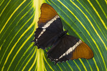 Washington Tropical Butterfly Photograph of Siproeta epaphus the Black and Tan Page Butterfly von Danita Delimont