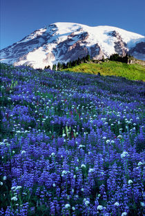 Rainier looms over a meadow of broadleaf lupine wildflowers by Danita Delimont