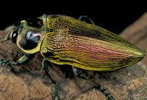 Buprestid beetle (Family Buprestidae) von Danita Delimont