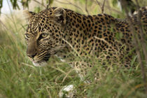 African Leopard (Panthera pardus) stalking prey von Danita Delimont