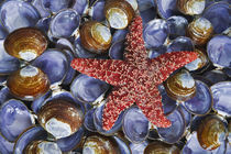 Close-up of starfish and clam shells von Danita Delimont