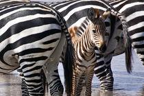 zebra in the wilderness 14 by Leandro Bistolfi
