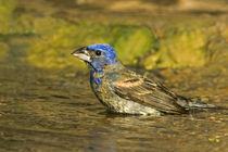 Male blue grosbeak bathing by Danita Delimont