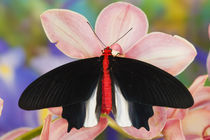 Sammamish Washington Tropical Butterflies photograph of Atrophaneura semperi the Batwing Butterfly on orchid by Danita Delimont