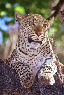 Wild leopard von Danita Delimont
