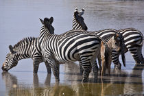 zebra in the wilderness 15 by Leandro Bistolfi