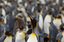 Second largest king penguin (wild: Aptenodytes patagonicus) colony in South Georgia by Danita Delimont