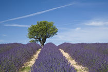 Rows of lavender in bloom von Danita Delimont