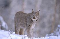 Lynx (Felis lynx) by Danita Delimont