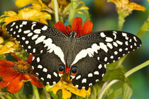 Washington Tropical Butterfly Photograph of Papilio demodocus the Orchard Swallowtail from Africa by Danita Delimont