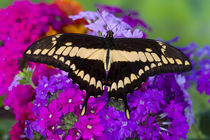 Washington Tropical Butterfly Photograph of Neotropical butterfly Papilio Thoas the Thoas Swallowtail von Danita Delimont