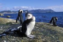 Jackass Penguin along rocky coastline (Spheniscus demersus) by Danita Delimont