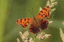Polygonia interrogationis by Danita Delimont