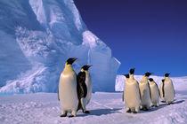 Emperor Penguins (Aptenodytes forsteri) by Danita Delimont
