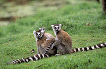 Ring-tailed lemur and young (Lemur catta) by Danita Delimont